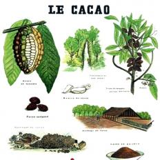 Décor mural - Deyrolle - Cacao
