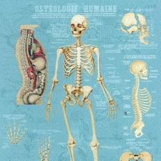 Décor mural - Deyrolle - Squelette ostéologie humaine